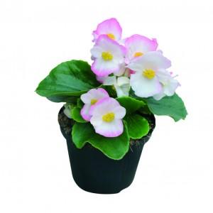 1089 Begonia semp Highlight Bicolor