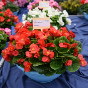 1091 Begonia semp Highlight Red