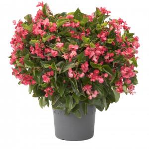 1165 Begonia hybrida Viking XL Rose on Green