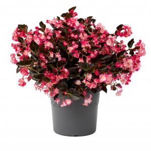 1166 Begonia hybrida Viking Pink on Chocolate