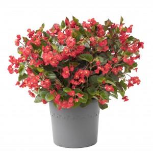 1168 Begonia hybrida Viking XL Red on Green