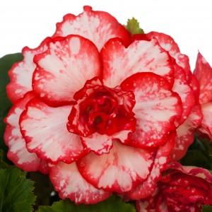 12111 Begonia tub AH Picotee Flamenco
