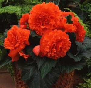 12125 Begonia tub AH Ruffled Mandarin