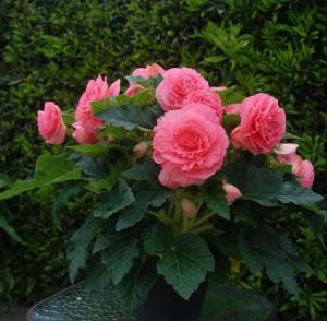 12126 Begonia tub AH Ruffled Pink