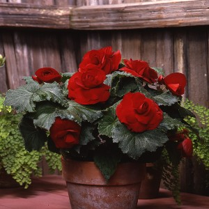 12133 Begonia tub AH Roseform Red