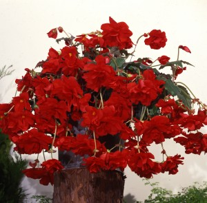 12142 Begonia tub Sun Dancer Red