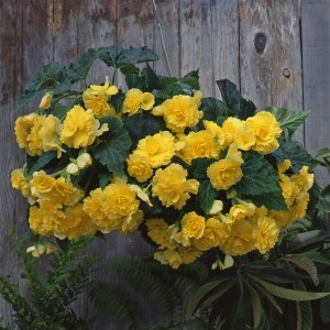 12145 Begonia tub Sun Dancer Yellow
