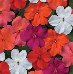 1481 Impatiens walleriana Beacon Select Mix