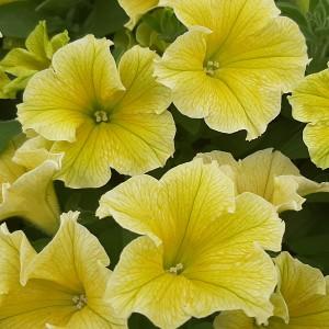Fanfare New Yellow