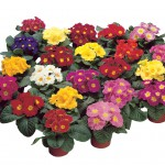 25000 Primula Protos Mix 1