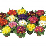 27550 Primula Munchen mix