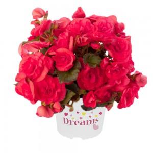 8072710 BEGONIA elatior Solenia Dark Pink