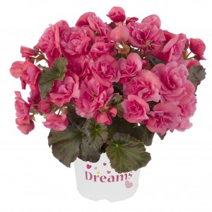 8072718 BEGONIA elatior Solenia Light Pink