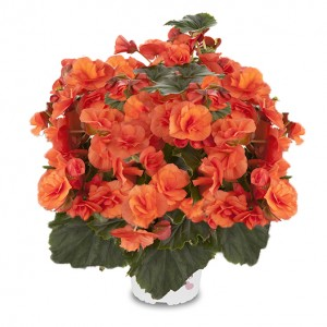 8072740 BEGONIA elatior Solenia Orange Good