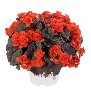 8072987 BEGONIA elatior Solenia Chocolate Orange G