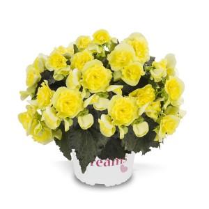 8072989 BEGONIA elatior Solenia Yellow G