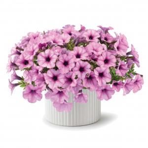 8630 Petunia Capella Pink Lace