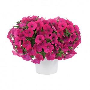 8631 Petunia Capella Neon Pink