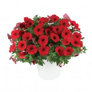 8632 Petunia Capella Ruby Red
