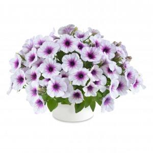 8633 Petunia Capella Purple Vein