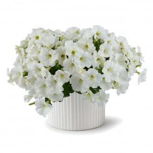 8634 Petunia Capella White