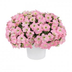 8636 Petunia Capella Baby Pink