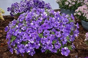 8699 Petunia Ordy Galaxy Blue