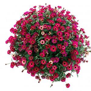 86993 Argyanthemum Grandaisy Ruby