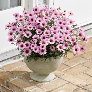 86994 Argyanthemum Grandaisy Pink