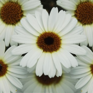 86996 Argyanthemum Grandaisy Ivory