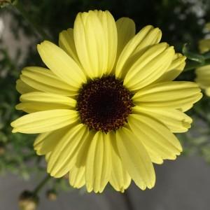 86997 Argyanthemum Grandaisy Gold