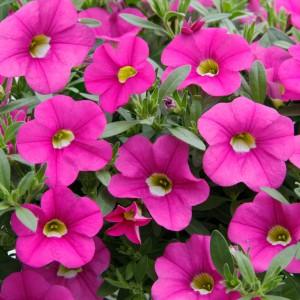 87217 Calibrachoa Nio Pink