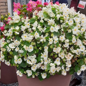 Begonia Highlight White