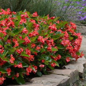 Begonia Megawatt Red Green Leaf