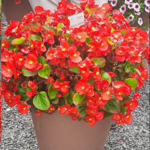 Begonia semp Highlight Red