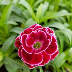 Dianthus Colori Goni