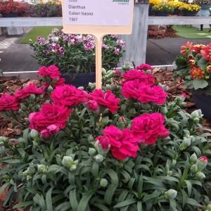 Dianthus Colori Naomi