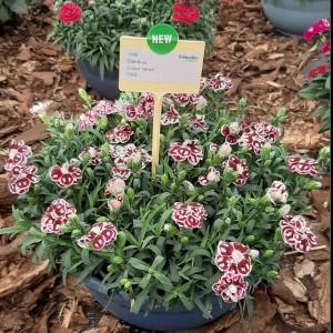 Dianthus Colori Vered