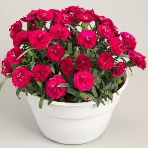 Dianthus Rosselly Red