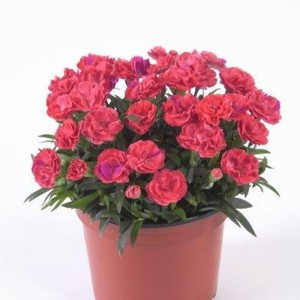 Dianthus Rosselly Salmon