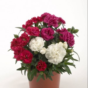 Dianthus Rosselly mix