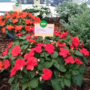 Impatiens Beacon Bright Red