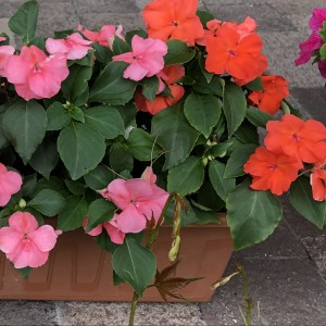 Impatiens Beacon Coral & Orange