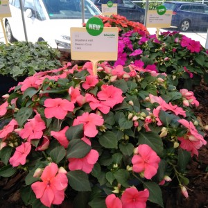 Impatiens Beacon Coral