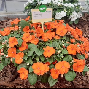 Impatiens Beacon Orange