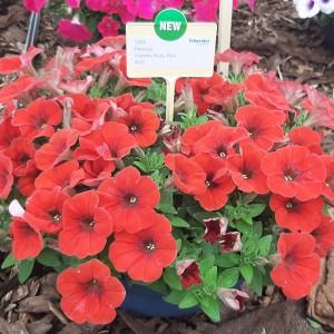Petunia Capella Ruby Red