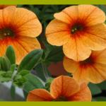 калибрахоа оранжевая